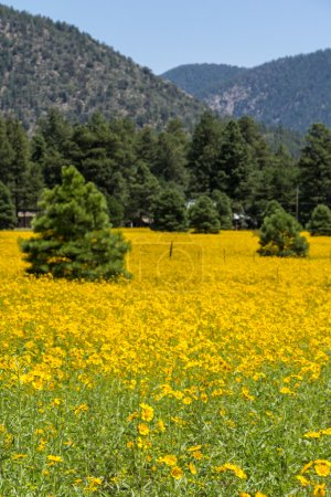 Farmfield with yellow flowers