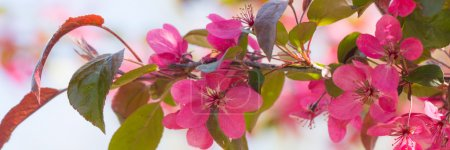 Red Crab apple flowers