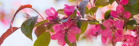 Photo pour Fleurs fraîches de pomme de crabe rouge au soleil - image libre de droit