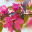 Fresh red crab apple flowers in the sun...