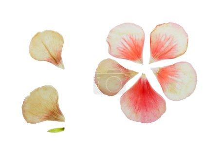 Pressed and dried delicate petals of geranium