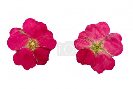 Pressed and Dried flower wild rose. Isolated on white background