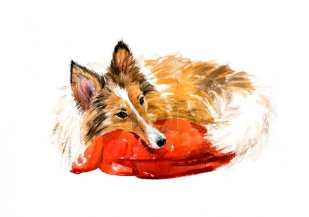 Sheltie. Sleeping dog.
