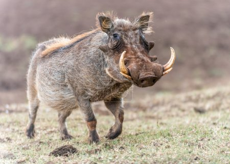A warthog (Phacochoerus africanus) standing at Tre...