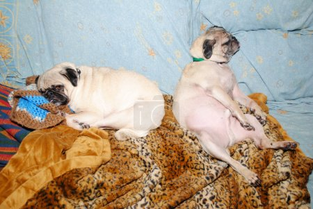 Two Funny Pugs Sleeping-Concept of a Hang Over...