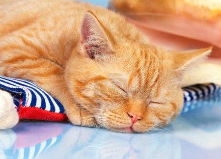 Sleeping red kitten