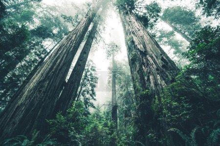 Photo pour La forêt géante du mystère. Deep Redwood Forest Wilderness. Californie, États-Unis . - image libre de droit