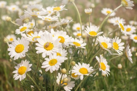 Photo pour Beaucoup de champ de marguerites - image libre de droit
