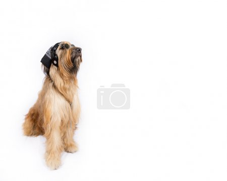 Big French shepherd dog in the image of steep DJ
