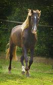Beautiful quarter horse running in nature
