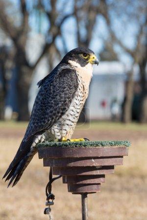 Falco peregrinus bird