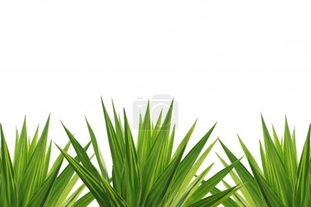 Agave plant isolated on white background