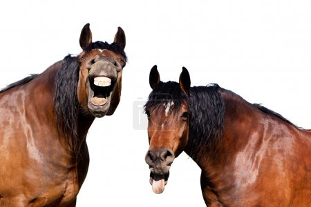 Laughing horses on isolated white background