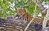 Srí Lanky endemické Leopard