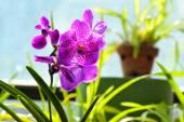Barevné květy v Královské botanické zahrady Peradeniya, Srí Lanka