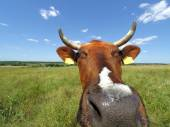 Funny cow with grassland and sky
