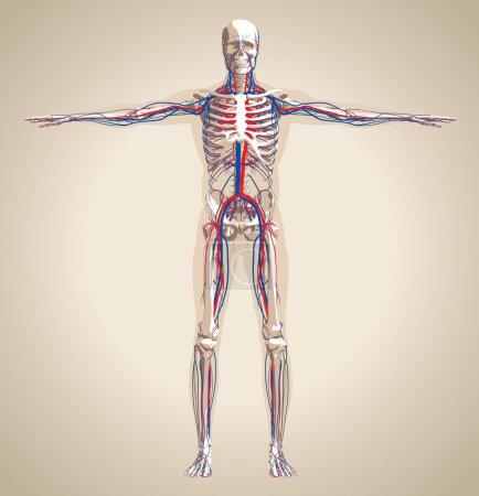 Illustration for Human (male) circulatory system and nervous system. Scheme also contain image of the skeleton and body. Vector illustration - Royalty Free Image