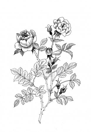 Photo for Hand drawn garden roses flowers isolated on white background - Royalty Free Image