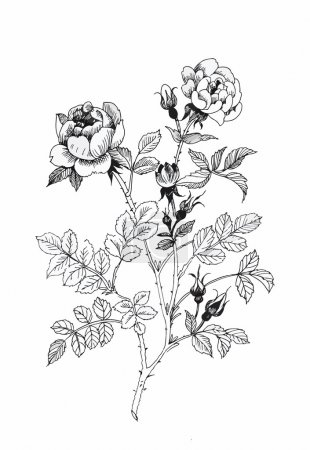 Illustration for Beautiful monochrome, black and white flower isolated. Hand-drawn contour lines and strokes - Royalty Free Image