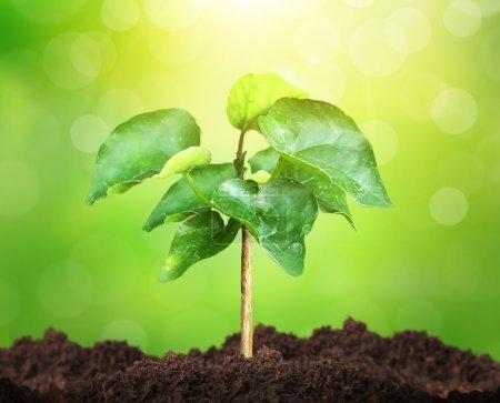 Photo pour Croissance d'une jeune plante verte - image libre de droit