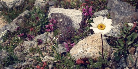 Mountain flowers.  White and pink flowers flowers amongst stones.