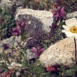 Постер, плакат: Mountain flowers White and pink flowers flowers amongst stones