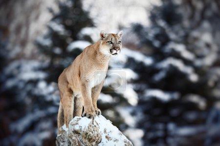 Cougar, mountain lion, puma, panther