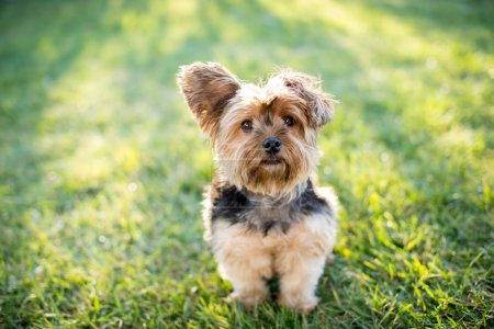 Yorkshire terrier on grass