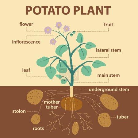 Illustration showing parts of potato platnt