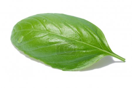 Photo for Single sweet basil leaf, Genovese cultivar. Separate clipping paths for both leaf and shadow, infinite depth of field - Royalty Free Image