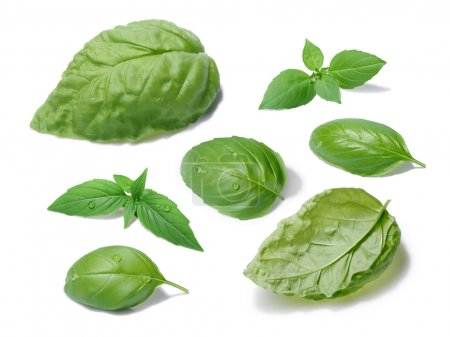Photo for Collection of basil leaves, different cultivars. Separate clipping paths for both leaves and shadows, infinite depth of field. List of cultivars in paths names - Royalty Free Image