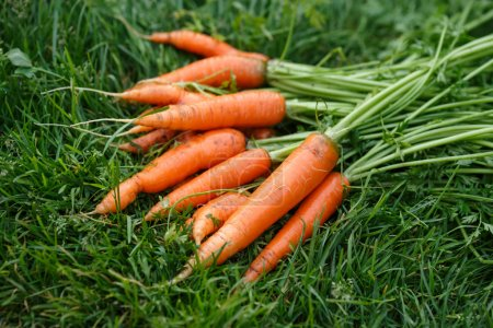 Photo for Freshly harvested and washed carrots drying on a green grass. Locavore movement, local farming, harvesting concept - Royalty Free Image
