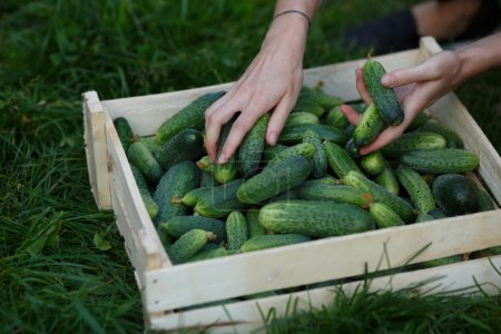 Photo for Woman sorting cucumbers out of freshly harvested ones. Locavore movement, local farming, harvesting concept - Royalty Free Image