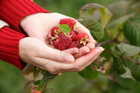 Photo for Raspberry picking. Woman's handful of freshly picked berries. Harvesting, locavore movement, growing, local farming, clean eating concept - Royalty Free Image