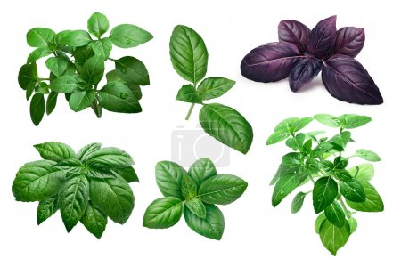 Photo for Fresh basil (basilicum ocimum) leaves and shrubs, different varieties. Clipping paths, infinite depth of field - Royalty Free Image