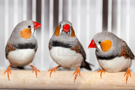 Three zebra finches