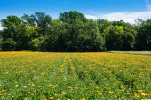 Field with blooming marigolds