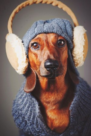 Dachshund dog in hat, sweater and earmuffs