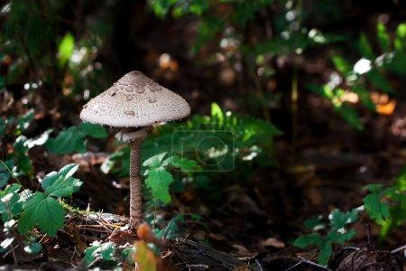 Photo pour Ces champignons sont aliment populaire lorsque sautées dans le beurre fondu. Dans des pays d'Europe centrales et orientales ce champignon est habituellement préparé de la même façon à une escalope. Il est généralement exécuté par le biais d'oeuf et chapelure et puis frire sur une poêle avec quelques oi - image libre de droit