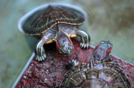 Photo pour Une paire de tortues qui sont gardés réservoirs d'eau à Ponorogo, Java Est, Indonésie - image libre de droit