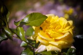 yellow rose with a beetle on a flower