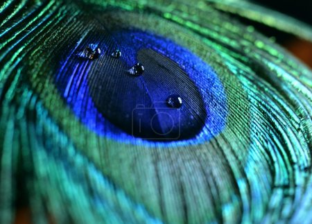 Peacock feather with water drops