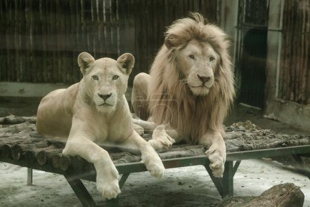 Pair of lions resting in zoo