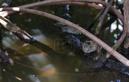 Mudskipper fish in nature