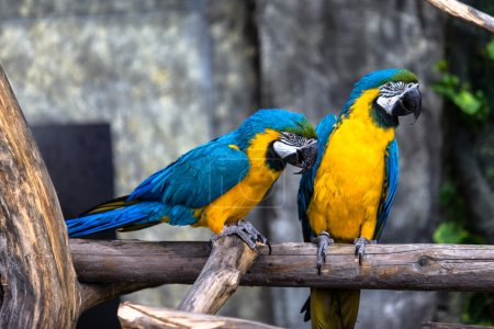 Photo pour Deux perroquets en amour s'amusent avec une concentration sélective - image libre de droit