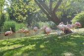 Flock of Chilean flamingos preening itself at green summer outdoor background