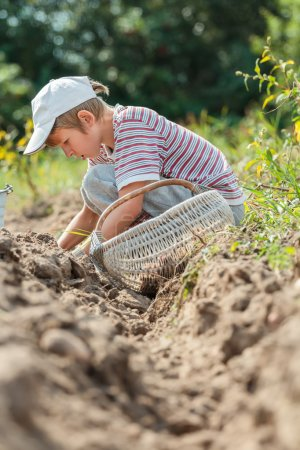 Photo for Teenage farmer at root vegetables and potatoes harvesting - Royalty Free Image