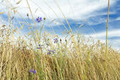 White cirrus clouds and blue sky above rye field with cornflowers