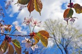 Flowers and leaves of an Oriental cherry