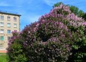Landscape. Spring in the city. Lilac bush.